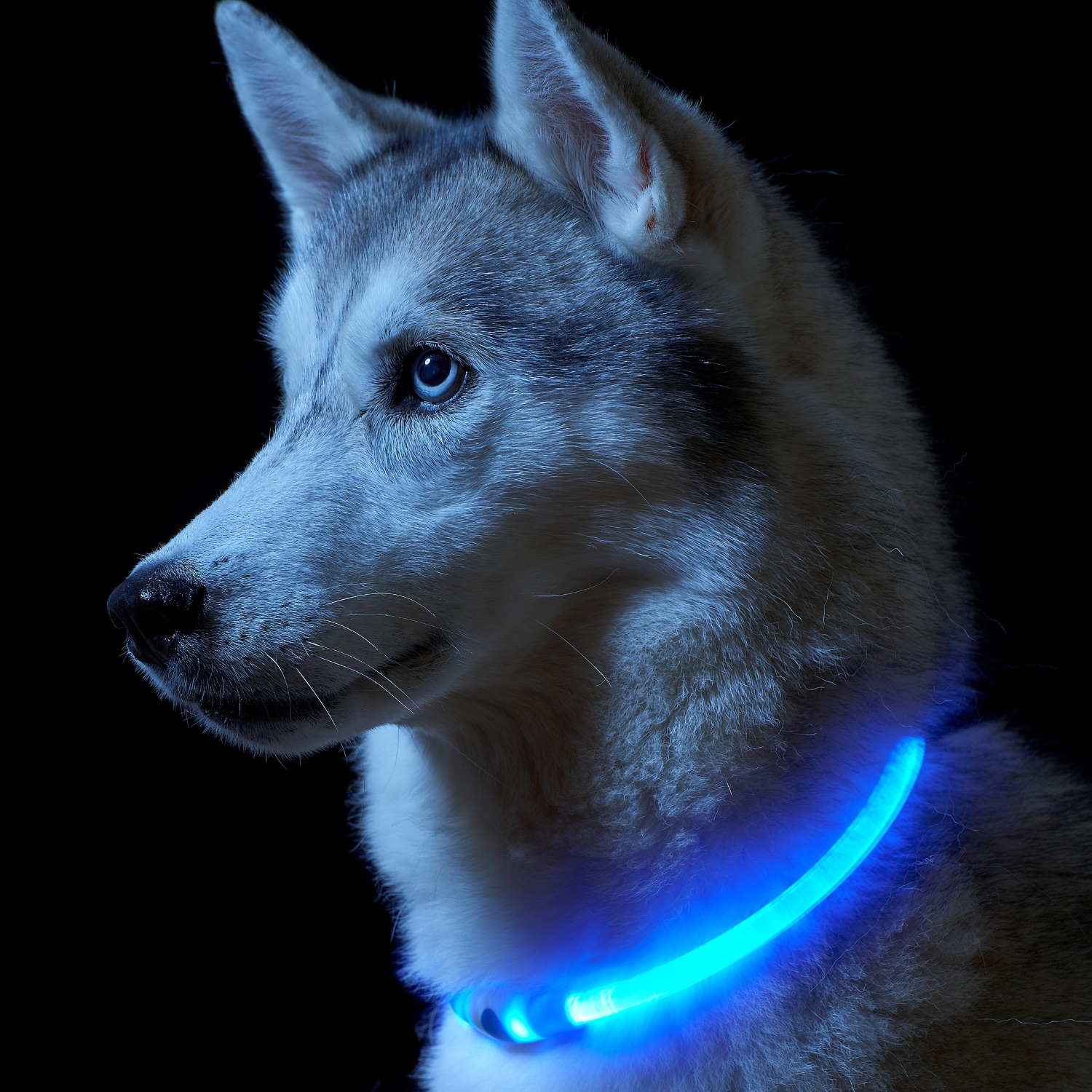Flashing Led High Visibility Dog Collar Auraglow Led