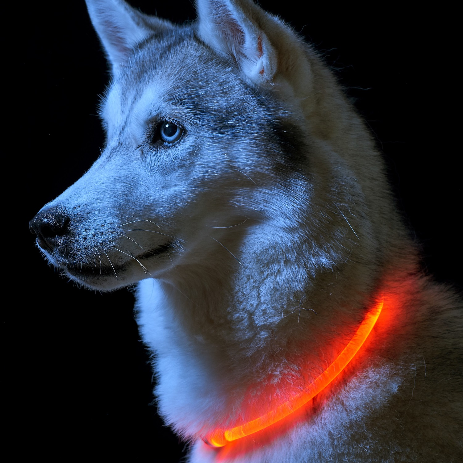 that up or leash background lights glows collar getting dog a good dark light the in